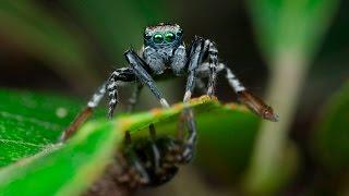 Spid-a-boo (Jotus remus)
