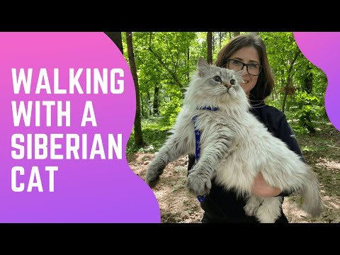Walking with a Siberian cat