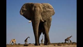 Самые  высокие слоны
