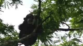 2018年1月15日 8:47 別のチンパンジートレッキンググループが、象を見...
