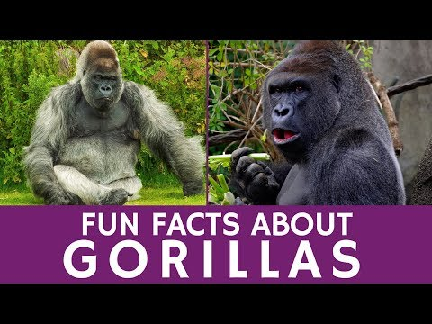 Interesting Facts about Gorillas for Kids and Apes Video for School Learning