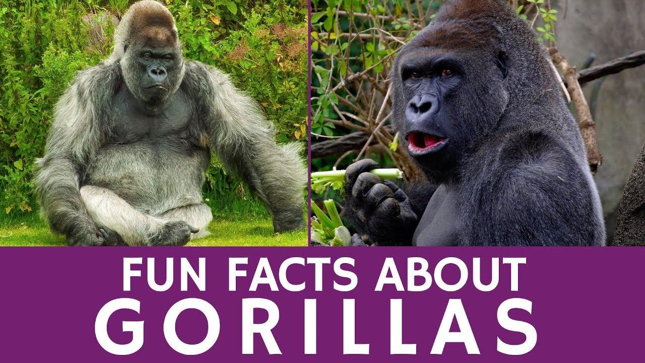 Gorilla Behavior