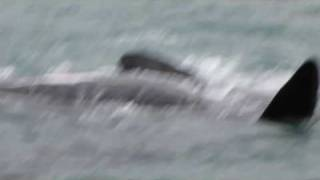 Southern Right Whales Mating - Walker Ba...