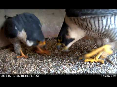 Peregrine Falcons Pair Bonding Inside Nest Site-Union County Courthouse