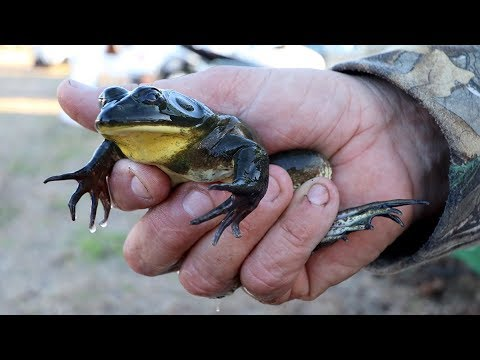 The WORLD'S LARGEST Frog Leg FESTIVAL | Fellsmere, Florida