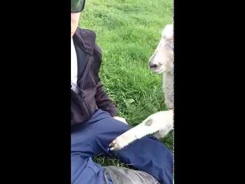 Jeb the Attention Seeking Lamb