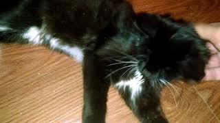 Кошечка Мейн кун для дивана и подушки с длинным и пушистым хвостом и пушистыми штанишками
