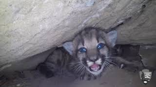RAW VIDEO: Mountain lion kittens discovered in SoCal mountains | ABC7