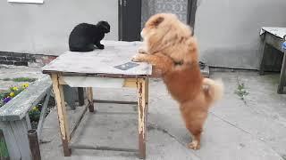 Чау-чау зовёт кошку играться
