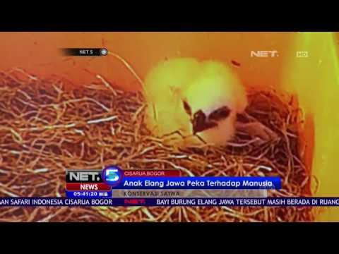 Anak Elang Jawa Berhasil Dikembangbiakan  - NET5