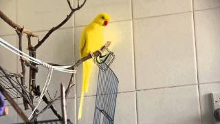 Indian Ring neck parrot sounds