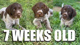 7 Week Old GWP PUPPIES