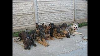 Тестирование молодых собак на ЗКС. Первое занятие!