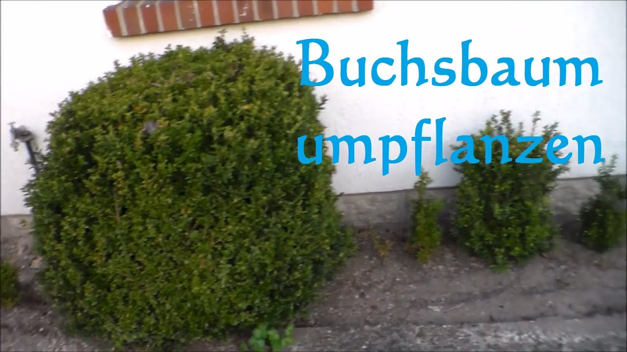 buchsbaum umpflanzen buxus umpflanzen wie und wann buxus verpflanzen pflanzen youtube. Black Bedroom Furniture Sets. Home Design Ideas
