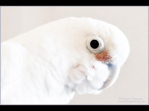 """Bentley"" The Goffin's Cockatoo"