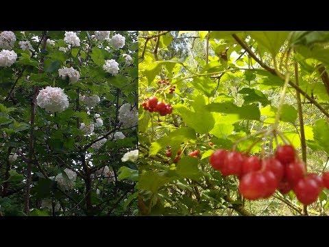 Palla di Neve (fiore e bacche)