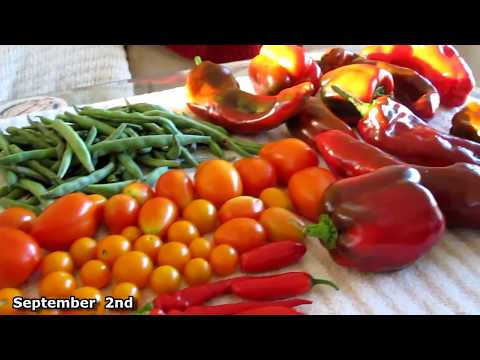 Garden HARVEST September UPDATE Hurricane Florence prep container gardening survivalist prepper