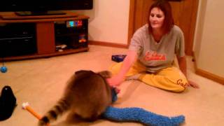 Clyde the raccoon playing with my wife. pet raccoon