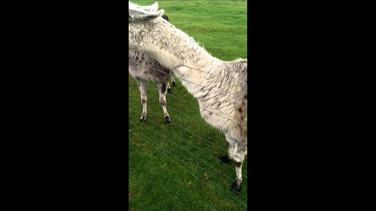 Download The moment a Llama spit on me.