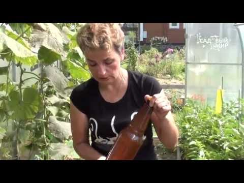 видео: Ложная мучнистая роса. Как бороться и  продлить урожай огурцов