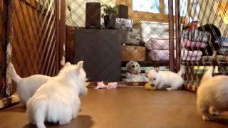 ボッグハウス・ボーモンド /http://www.beaumonde.co.jp 子犬販売 全国...