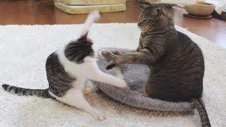 グレーの猫ベッドとねこ。-Grey bed and cats.-
