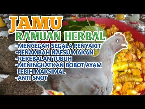 cara-membuat-obat-herbal-untuk-pencegahan-segala-jenis-penyakit-pada-ayam-broiler/pedaging/potong