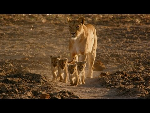 Four Lion Cubs with Five Good Dads!