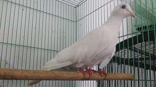 vuclip Suara Merdu Burung Puter Putih Gacor Istimewa