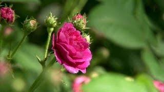 The Rose Garden | At Home With P. Allen Smith