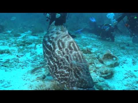 "Meet ""George"" the friendliest Black Grouper in the Cayman Islands"