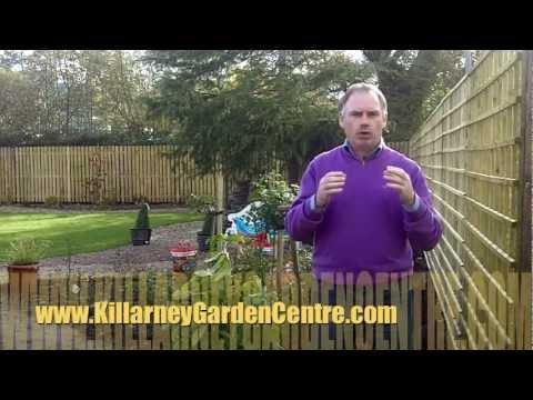 How to plant laurel hedge | Killarney Garden Centre