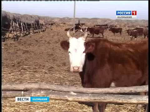 В Городовиковском районе выявлен факт продажи больных бруцеллезом коров