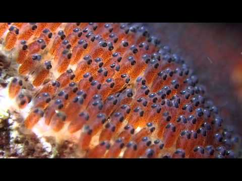 Clown fish roe youtube for Closest fish store