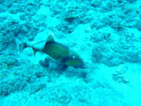 Apnée 10 01 24 Cap Requin12 Baliste entretient son nid très calme