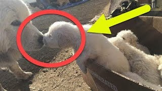 Sheepdog Gives Birth To A Mind Blowing 17 Puppies In 1 Litter !