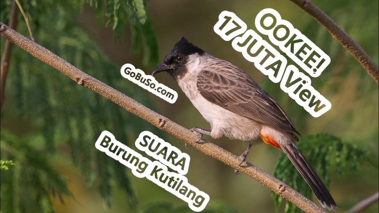Cek 3 Jenis Suara Burung Kutilang Emas Mp3 Pakan Harga