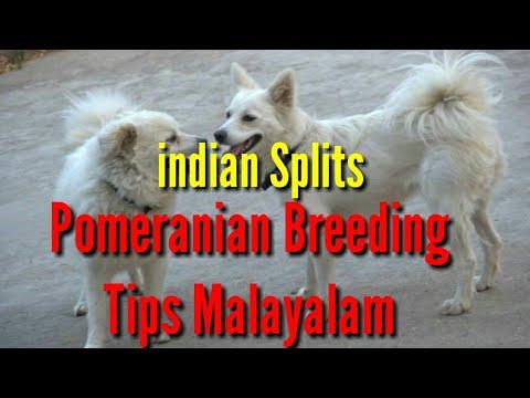 Indian Pomeranian Breeding Tips Malayalam,Indian Splits Breeding