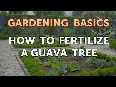 How To Fertilize A Guava Tree