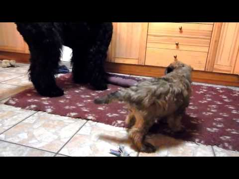 "Schwarze Terrier und Irish Soft Coated Wheaten Terrier ""vom Aralsee"""