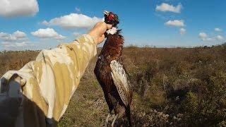 Охота на фазана - Работа по следу - Охота с дратхааром