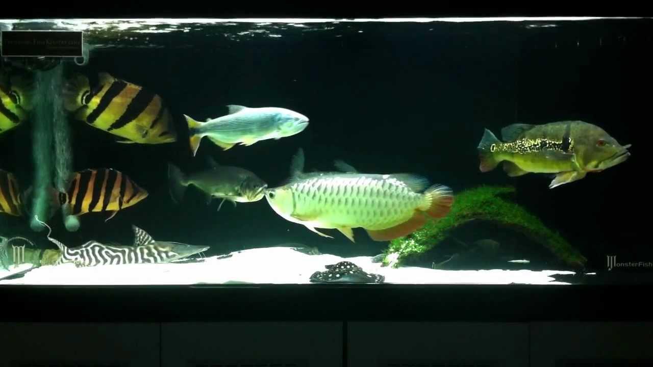 Predatory fish community 09042012 easter update youtube for Predatory freshwater fish