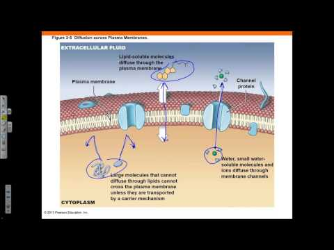 Chapter 3 Part 1 Cell Theory Plasma Membrane Diffusion And Osmosis