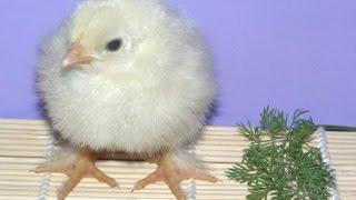 Содержание цыплят зимой /
