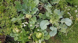 Rozwój uprawy kapusty, kalafiora, kalarepy w doniczce | Uprawa 2017