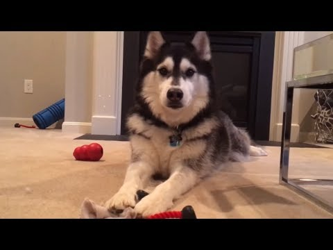 Husky throws fit after owner decides not to play with him