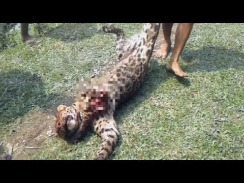 Locals kill leopard after it injures 12 in Dibrugarh
