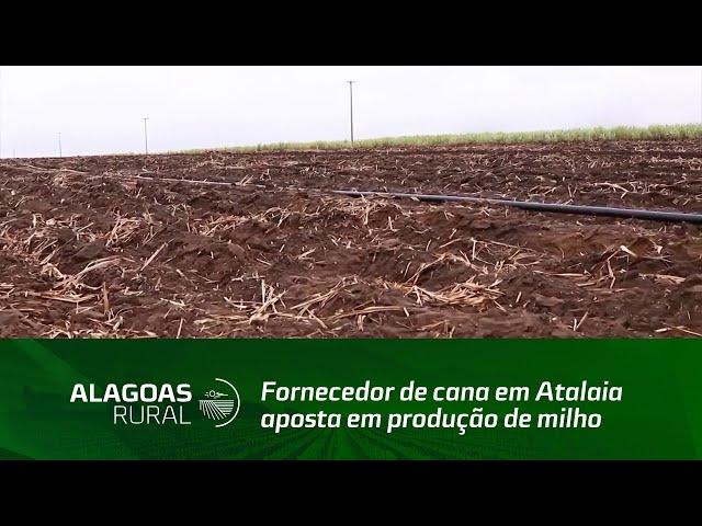 Fornecedor de cana em Atalaia aposta em produção de milho em áreas de renovação de cana-de-açúcar
