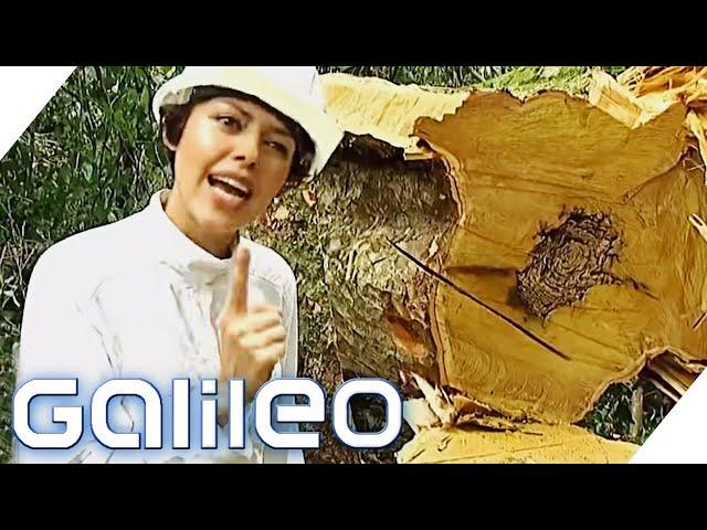 Woran erkennt man gutes Tropenholz?   Galileo   ProSieben