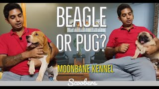 Should you keep a Pug or a Beagle? | Presenting Moonbane Kennel, Kolkata ! SCOOBERS